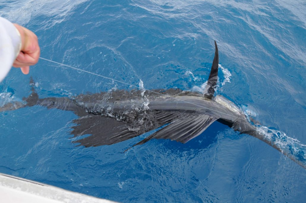assessing florida s sailfish population the billfish foundation
