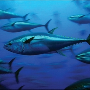 Atlantic Bluefin Tuna Angling Category Closure | The Billfish Foundation
