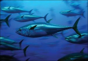 Atlantic Bluefin Tuna Angling Category Closure | The Billfish Foundation