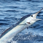 Atlantic Marlin Fishing Now All Catch & Release in 2020 | The Billfish Foundation