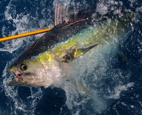 Tagging Yellowfin Tuna with ICCAT and AOTTP - The Billfish Foundation