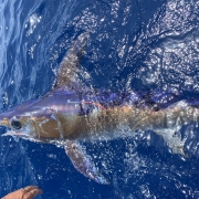 Swordfish and Tunas Landings Update | The Billfish Foundation