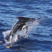 Marlin on line