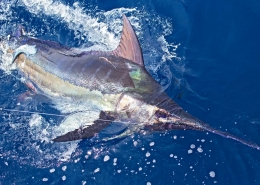 NOAA 2019 Commercial and Recreational Landings Updates | The Billfish Foundation