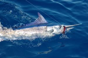 Spearfish photo, courtesy of Giles Perran