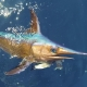 Non-Longline Fisheries Should Be Allocated More Swordfish | The Billfish Foundation