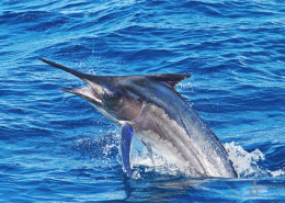 2019 Black Marlin Conservation Record | The Billfish Foundation