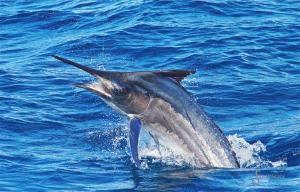2019 Black Marlin Conservation Record | The Billfish Foundation