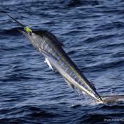 2019 Striped Marlin Conservation Record | The Billfish Foundation
