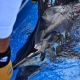Tag & Release Competition Rule Changes | The Billfish Foundation