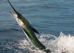 White Marlin Conservation Record 2019 | The Billfish Foundation
