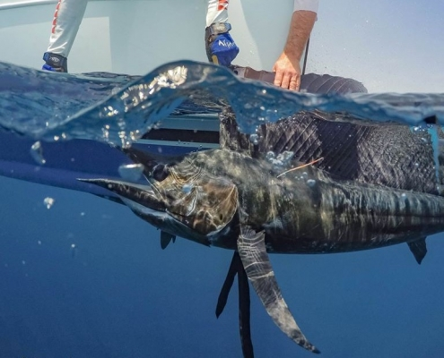 Sailfish Conservation Record 2019 | The Billfish Foundation