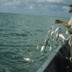Hard Caps Accepted for Pacific Gillnet Fishery | The Billfish Foundation