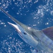 2020 Conservation So Far | News | The Billfish Foundation