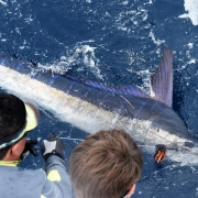 2020 Billfish Recaptures | Featured News | The Billfish Foundation