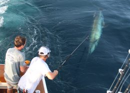 Tag & Release Competition Update | News | The Billfish Foundation