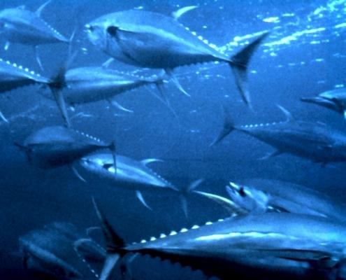 Billfish, Swordfish & Tunas Landings Update | The Billfish Foundation