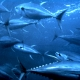 Billfish, Swordfish & Tunas Landings Update | The Billfish Foundation