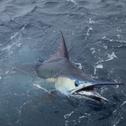 2019-2020 Tag & Release Competition Ends - The Billfish Foundation